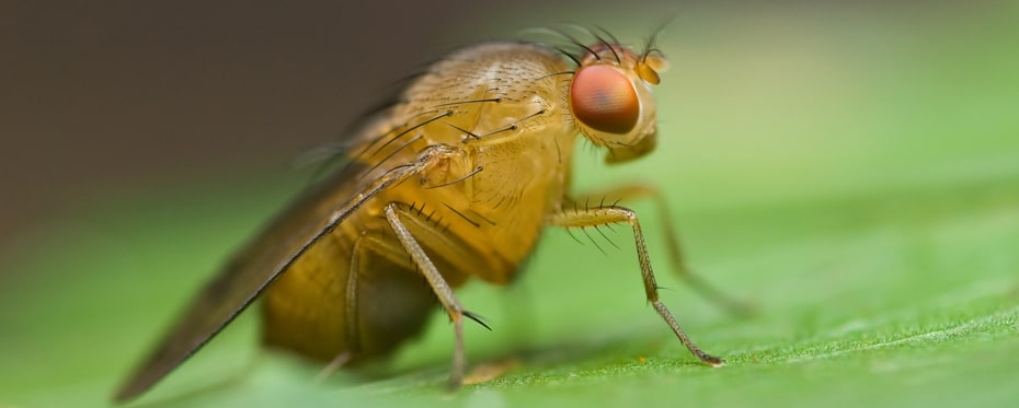 Drosophila Fezf found to be essential in neural circuit formation